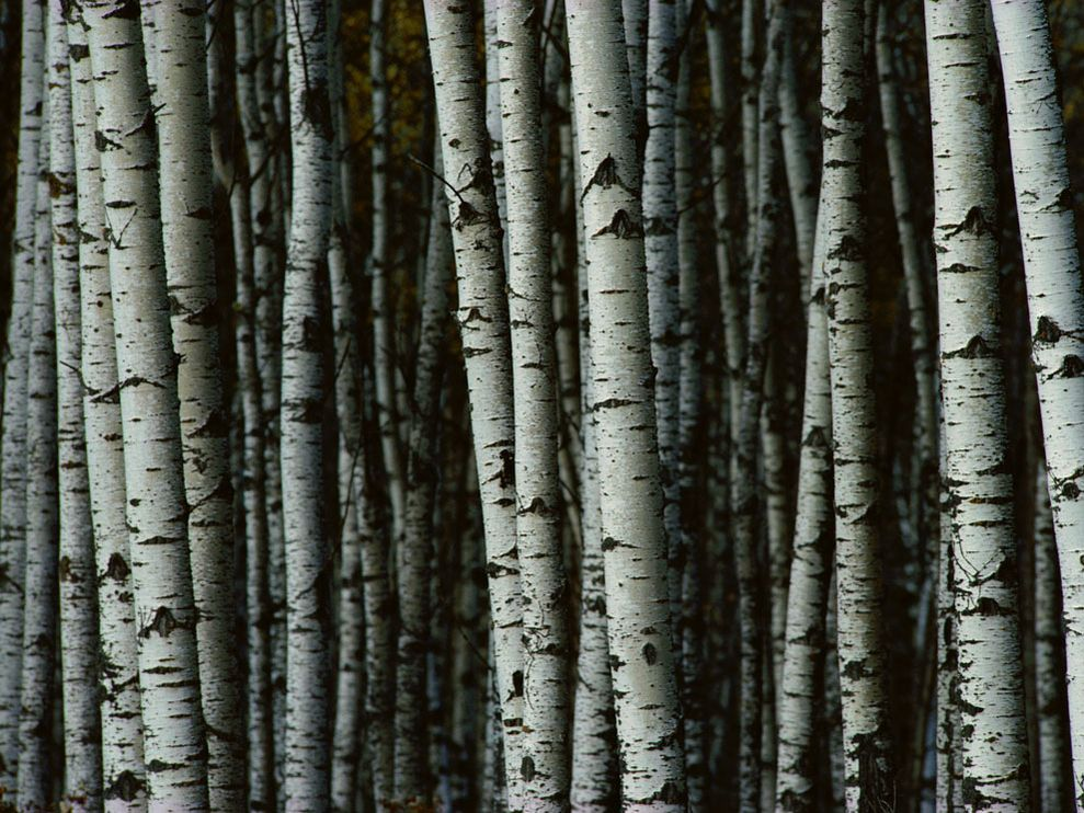 white-birch-trees_9392_990x742